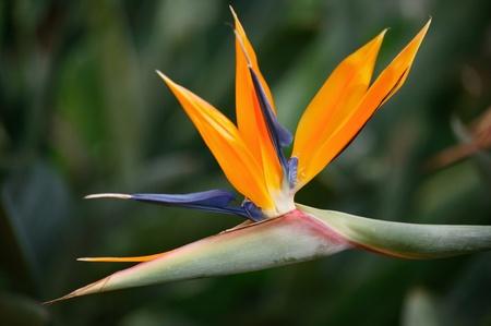 Bird of paradise, Strelitzia reginae a beautiful South African tropical perennial plant often called Crane Flower photo