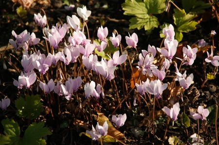 beautiful woodland: Close-up of beautiful woodland pink cyclamen hederifolium flowers in late autumn