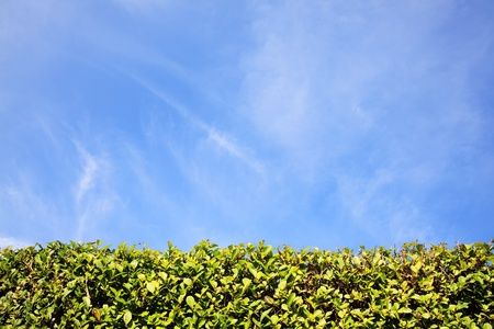 show garden: Privet Hedge and blue sky with clouds background with plenty of copy space Stock Photo