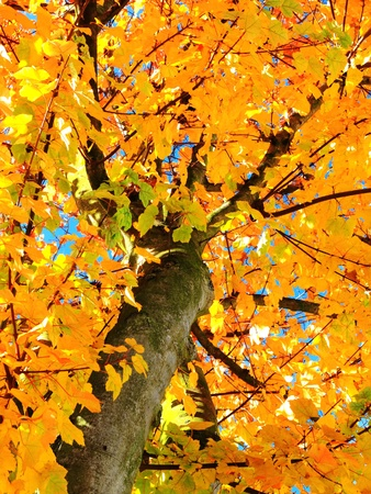 Golden and orange sunlit leaves in Autumn fall, on a Maple tree photo
