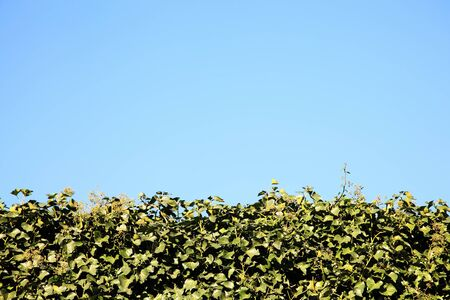 Neatly cut green holly hedge background photo
