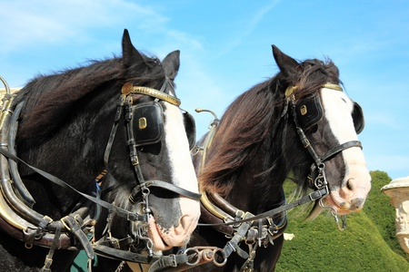 blinkers: Two thoroughbred Shire horses wearing tackle and blinkers Stock Photo