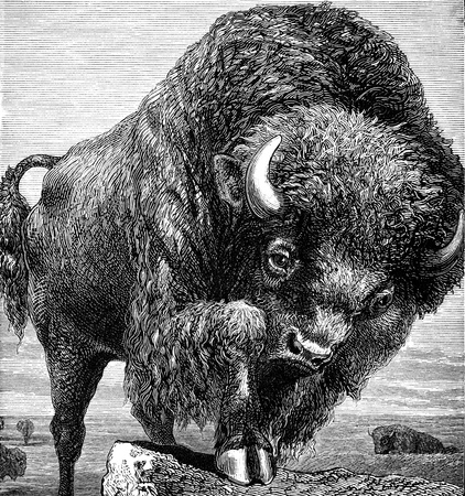 An engraved image of an American bison  from the book  The Handy Natural History  by J G Wood and published by The Religious Tract Society in 1886  The illustrator is unknown, but it is most likely to be the author