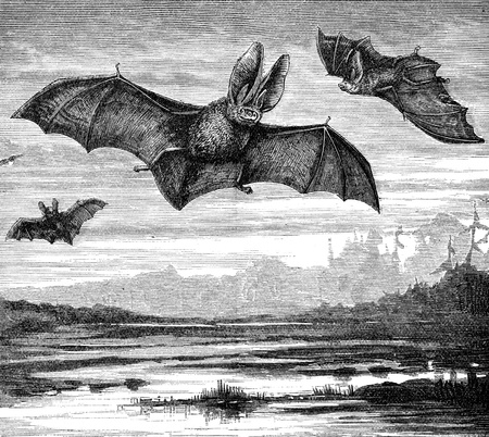 echolocation: An engraved image of Long Eared Bats flying at night from the book  The Handy Natural History  by J G Wood and published by The Religious Tract Society in 1886  The illustrator is unknown