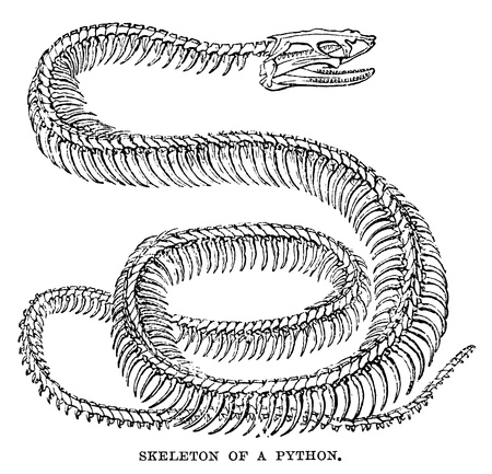 An engraved image of a python skeleton from the book  The Handy Natural History  by J G Wood, published by The Religious Tract Society in 1886  The illustrator is unknown Editorial