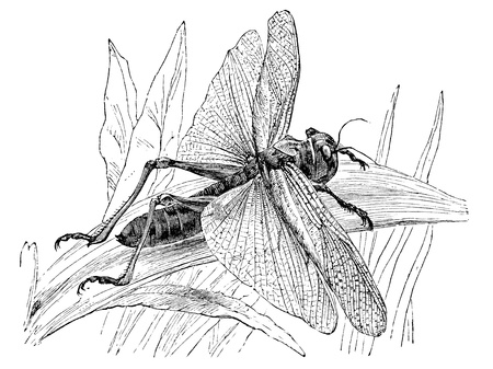 longer: An engraved illustration of a locust  gryllus migratorius , from a Victorian book dated 1879 that is no longer in copyright