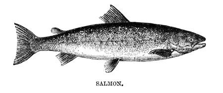 fish drawing: An engraved vintage fish illustration image of a salmon, from a Victorian book dated 1883 that is no longer in copyright Stock Photo
