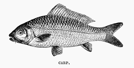 An engraved vintage fish illustration image of a carp, from a Victorian book dated 1883 that is no longer in copyright illustration