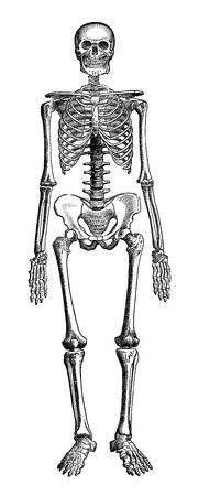 engraved image: An engraved vintage illustration image of  a human skeleton of a man, from a Victorian book dated 1880 that is no longer in copyright