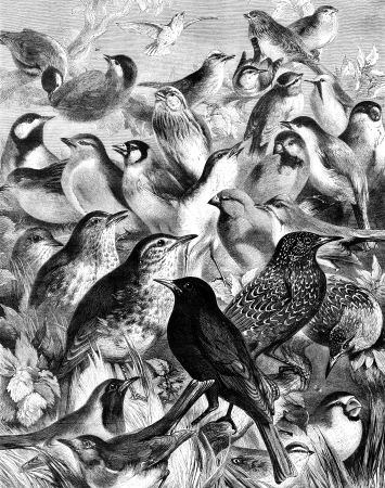 An engraved illustration of  an assembly of  various, birds, from a Victorian newspaper dated 1868 that is no longer in copyright illustration