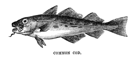 fish scale: An engraved vintage fish illustration image of a common cod, from a Victorian book dated 1883 that is no longer in copyright