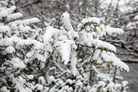 granizados: Paisaje de una fuerte caída de nieve en arbustos y ramas de árbol