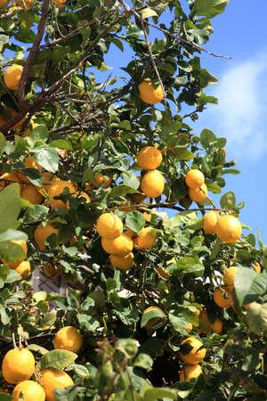lemon tree: Lemon Tree encuentra en los pa�ses mediterr�neos de Oriente Medio