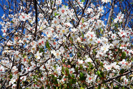 Almond tree blossom in spring with a clear blue sky background photo