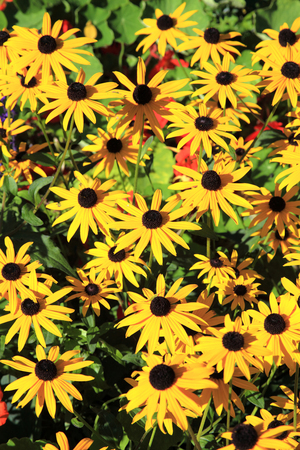 Rudbeckia or cone flower is a popular summer yellow bedding plant often used in flower borders