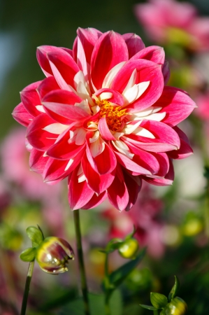 hardy: A red pink dahlia which is a popular late flowering autumn half hardy,herbaceous garden perennial plant