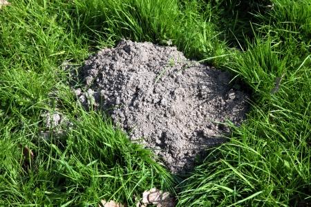 molehill: Molehill freshly dug in a meadow by an active mole