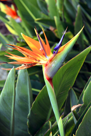 bird of paradise plant: Bird of paradise, Strelitzia reginae a beautiful tropical perennial plant often called Crane Flower which is found  South African, Canary Islands and Hawaii