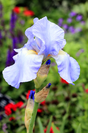 Iris pallida which is a popular european early flowering spring iris pallida which is a popular european early flowering spring bulb garden perennial plant stock mightylinksfo