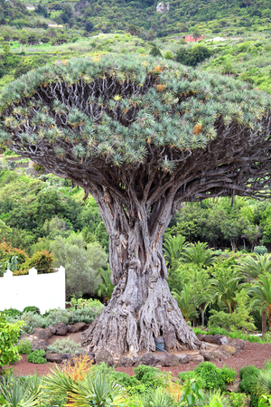 declared: Drago Milenario  dracaena draco , Icod de los Vinos, Tenerife, Canary Islands, Spain is a tree like plant with red sap and is said to be 1000 years old and has been declared a national monument