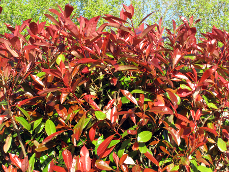 commonly: Photinia commonly known as Red Robin, which is a flowering perennial evergreen shrub Stock Photo