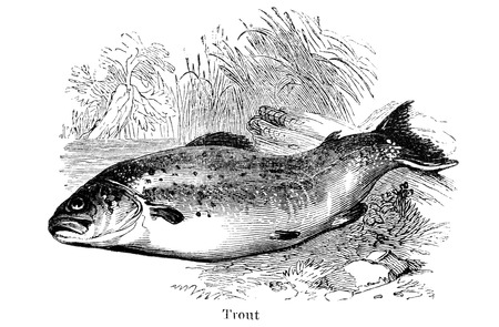 dated: An engraved vintage fish illustration image of a trout  from a Victorian book titled Angling by Robert Blakey dated 1857 that is no longer in copyright Stock Photo