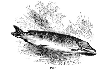 dated: An engraved vintage fish illustration image of a pike  from a Victorian book titled Angling by Robert Blakey dated 1857 that is no longer in copyrigh Stock Photo