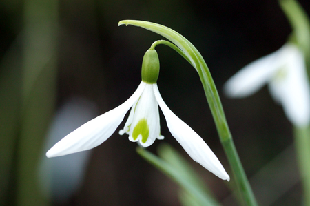 galanthus: Galanthus Atkinsii, a common species of snowdrop often found in early spring gardens