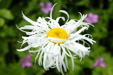 herbaceous border: Leucanthemum x Superbum