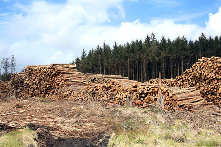 logging industry: Forest pine trees log trunks felled by the logging timber industry
