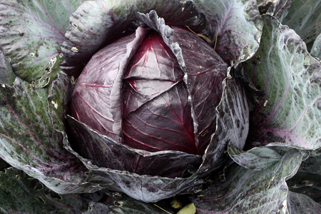 red cabbage: Red cabbage Brassica oleracea Redruth grown for food in an agriculture garden allotment