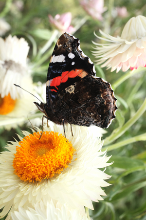 show garden: Red Admiral butterfly insect feeding on the pollen of a straw flower plant Stock Photo