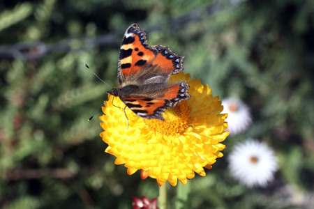 admiral: Red Admiral butterfly insect feeding on the pollen of a straw flower plant Stock Photo