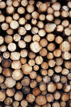 logging industry: Forest pine trees logs background felled by the logging timber industry