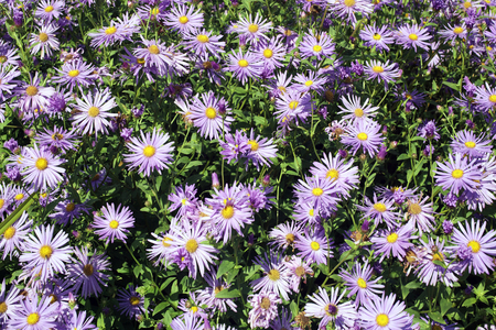 hardy: Aster x frikartii, Monch  a common cultivated herbaceous perennial hardy garden flower plant also known as  Michaelmas Daisy due to its late flowering period