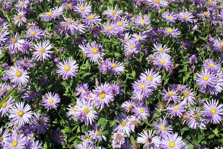 marguerite: Aster x frikartii, 'Monch' une plante herbac�e vivace cultiv�e usine de fleur de jardin hardy commun �galement connu sous le nom Saint-Michel Daisy en raison de sa p�riode de fin de floraison