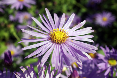 monch: Aster x frikartii, Monch  a common cultivated herbaceous perennial hardy garden flower plant also known as  Michaelmas Daisy due to its late flowering period