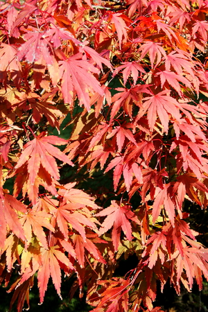 acer palmatum: Acer palmatum  Japanese maple leaves turning red in the  Autumn fall Stock Photo
