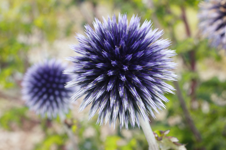 hardy: Echinops is a common cultivated herbaceous perennial hardy blue garden flower plant also known as Globe Thistle
