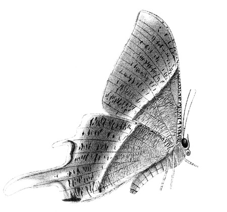 macro: An engraved vintage illustration of a butterfly Ipana diversa from a Victorian book dated 1897 that is no longer in copyright