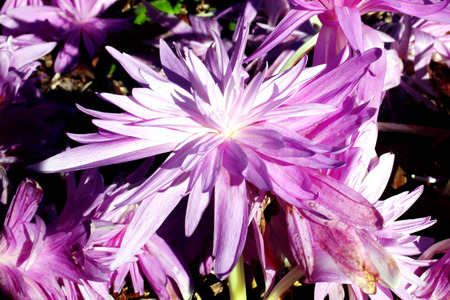 colchicum autumnale: Colchicum autumnale Waterlilly an autumn fall flowering bulb plant commonly known as Autumn Crocus Stock Photo