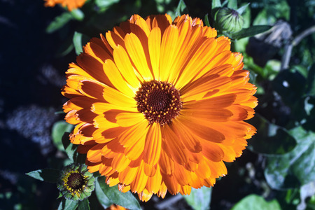 pot marigold: Marigold is a common cultivated annual bedding garden flower plant of a yellow or orange colour, also known as  Pot Marigold and it is an effective herb for many skin conditions Stock Photo