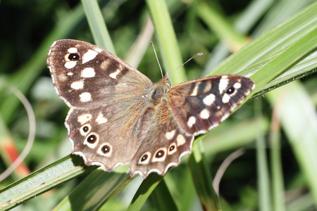 speckled wood: Speckled Wood butterfly resting on a blade of grass