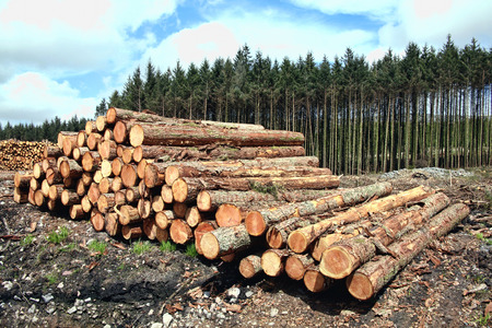 forestry industry: Forest pine trees log trunks felled by the logging timber industry