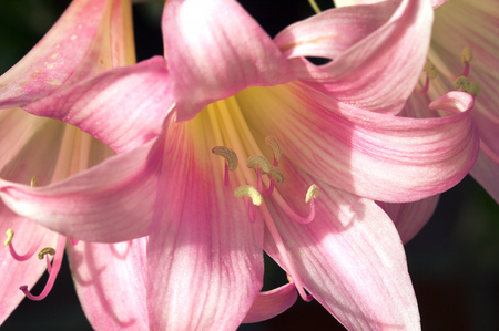 belladonna: Amaryllis Belladonna commonly known as Jersey lily, which is a popular perennial bulb garden plant with large pink trumpet like flowers, borne in clusters on purple stems Stock Photo