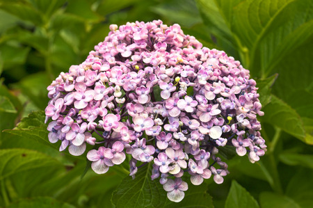 cottage garden: Hydrangea Macrophylla Ayesha, a popular cottage garden scrub with mauve to light blue compact flowers