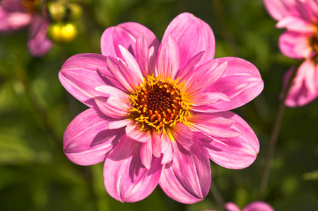 hardy: Dahlia Teesbrooke Red Eye, a popular late flowering half hardy, herbaceous garden perennial plant