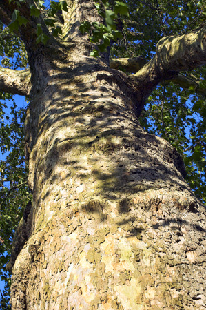 hispanica: Platanus x Hispanica, commonly known as London Plane, this tree is noted  for its ability to withstand polluted environments, by shedding pollutants in its bark Stock Photo