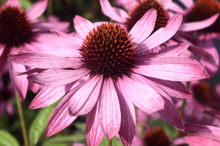 stimulate: Echinacea Purpurea Coneflower a common hardy purple or white perennial, which as a herb is used to stimulate the immune system and has anti depressant properties