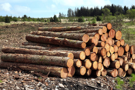 sawed: Forest pine trees log trunks felled by the logging timber industry